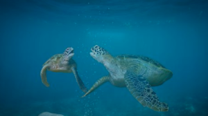 Two turtles swimming in the ocean